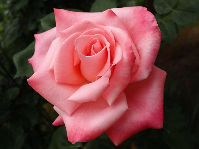 Roses dans les alpes... 17884410