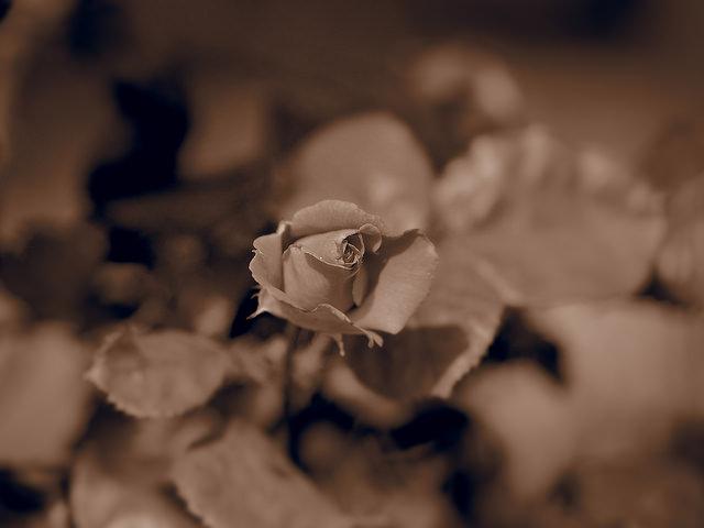 Roses dans les alpes... 18209310