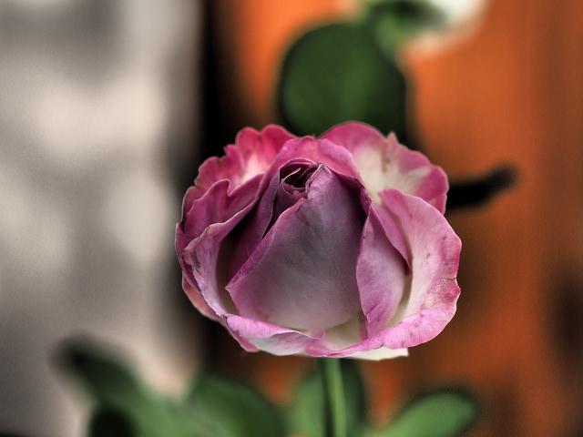Roses dans les alpes... 18393010