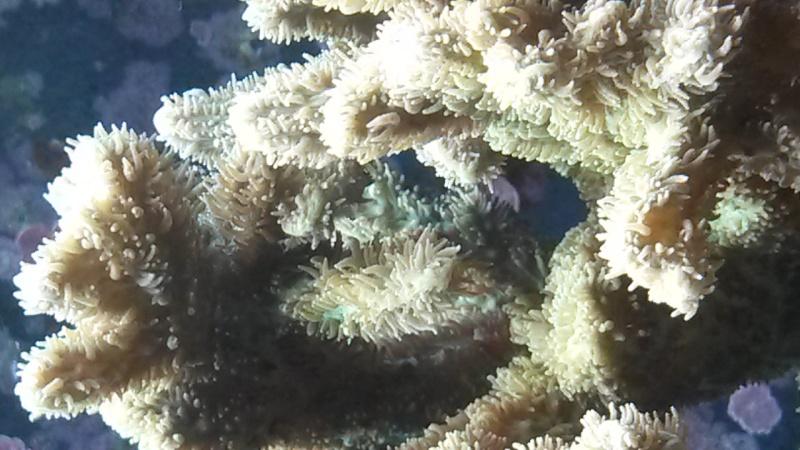 identification corail dur 20150828
