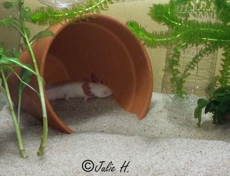 240L Axolotls Publiy21