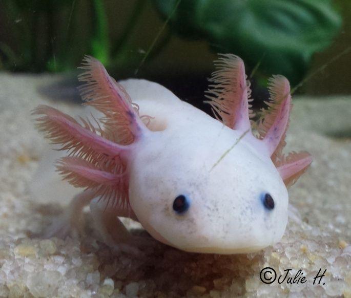 240L Axolotls Publiy23
