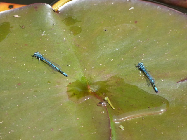 New Things In Your Pond Today... - Page 2 Damsel14