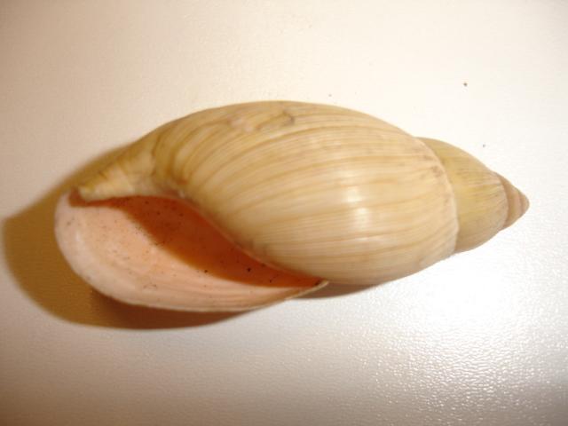 Euglandina rosea (Férussac, 1821) Dsc03822