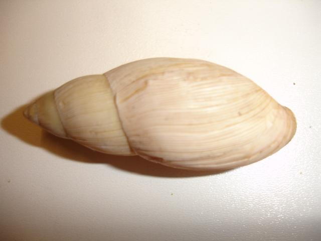 Euglandina rosea (Férussac, 1821) Dsc03823