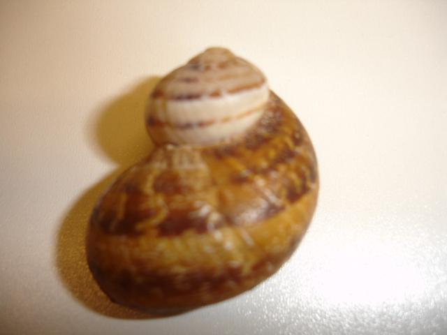 Helix aspersa f. subcornucopiae (O.F. Muller, 1774) Dsc03842