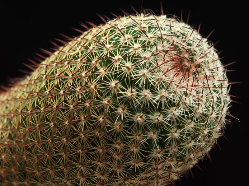 Mammillaria haageana? Mammil12