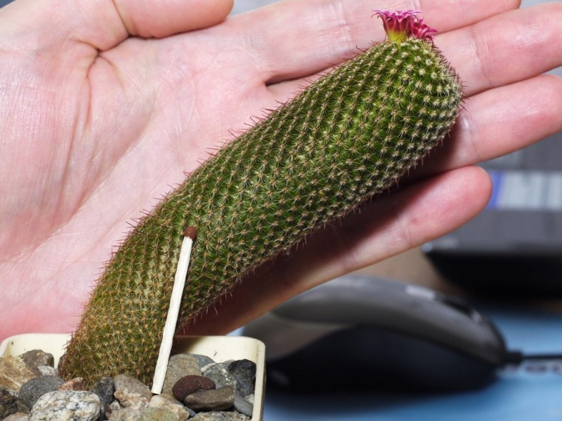 Mammillaria haageana? Mammil13