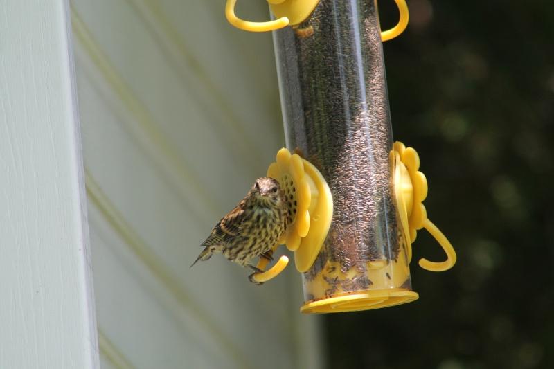 S.V.P. Besoin d'aide pour identifier un oiseau ... Img_7010