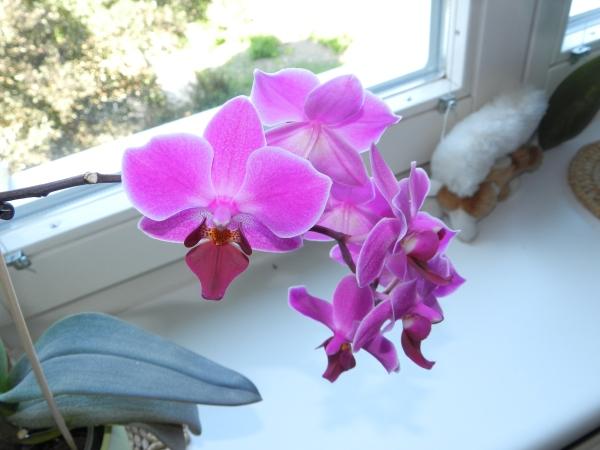 Phalaenopsis - Seite 23 1010