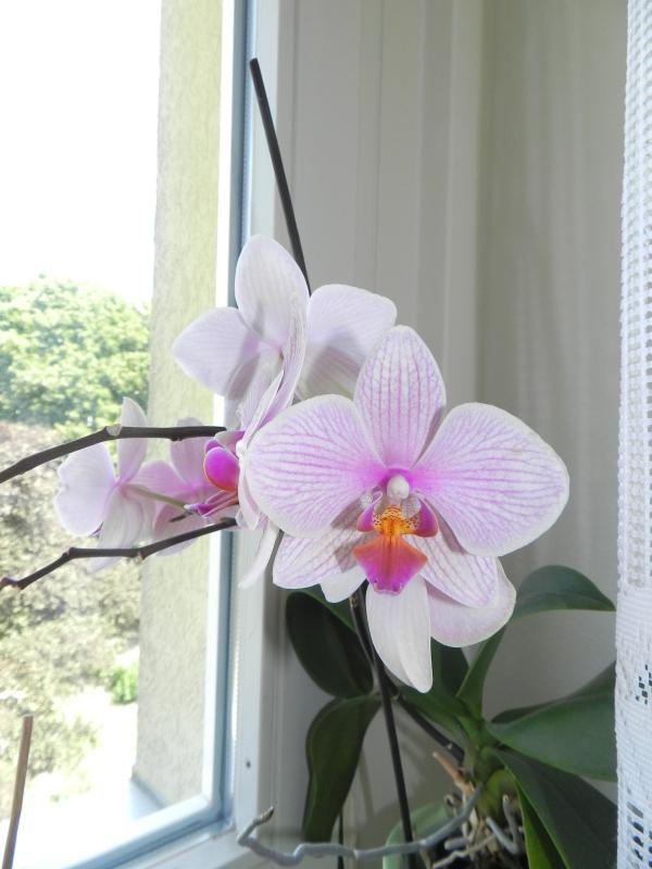 Phalaenopsis - Seite 23 310