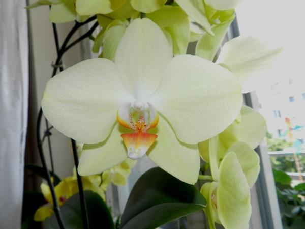 Phalaenopsis - Seite 23 510