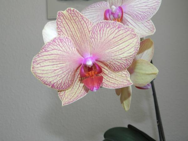 Phalaenopsis - Seite 23 910