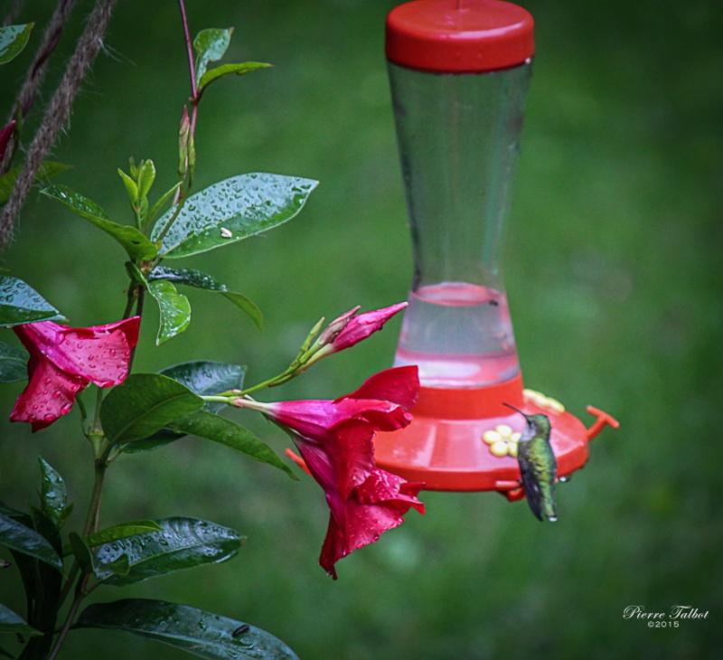 Colibri à gorge  rubis 2015ma13