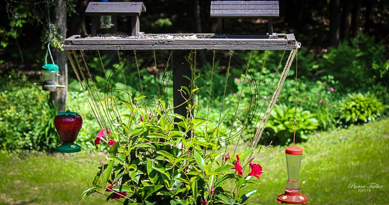 Colibri à gorge  rubis 2015ma32