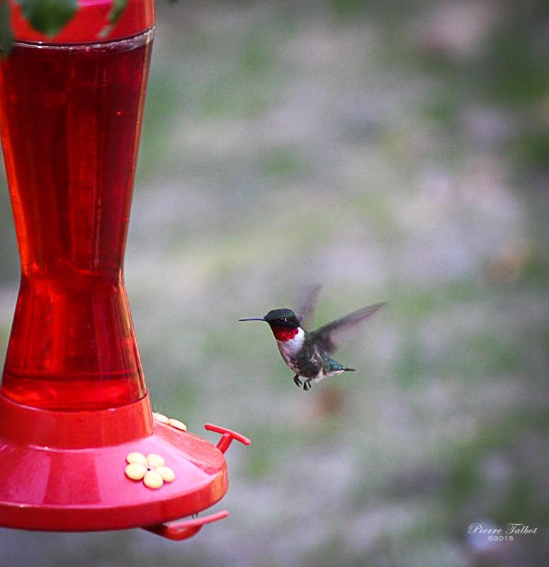 Colibri à gorge  rubis 2015ma33
