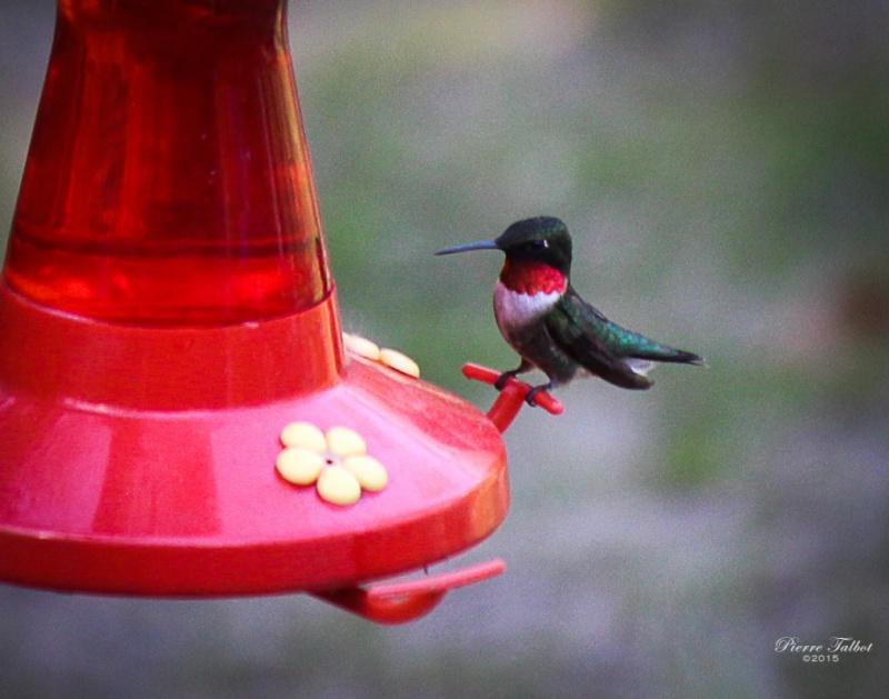 Colibri à gorge  rubis 2015ma34