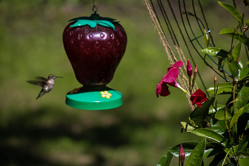 Colibri à gorge  rubis 2015ma36