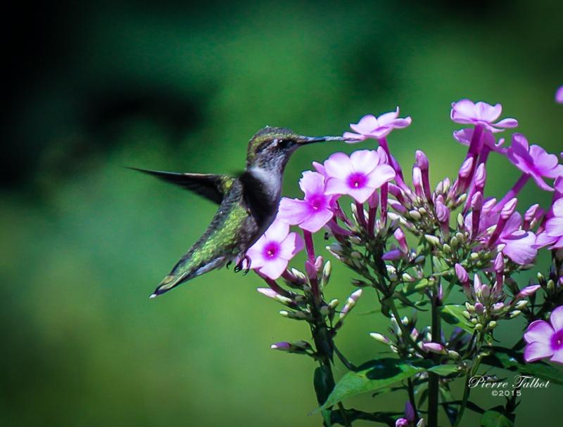 Colibris Oiseau21
