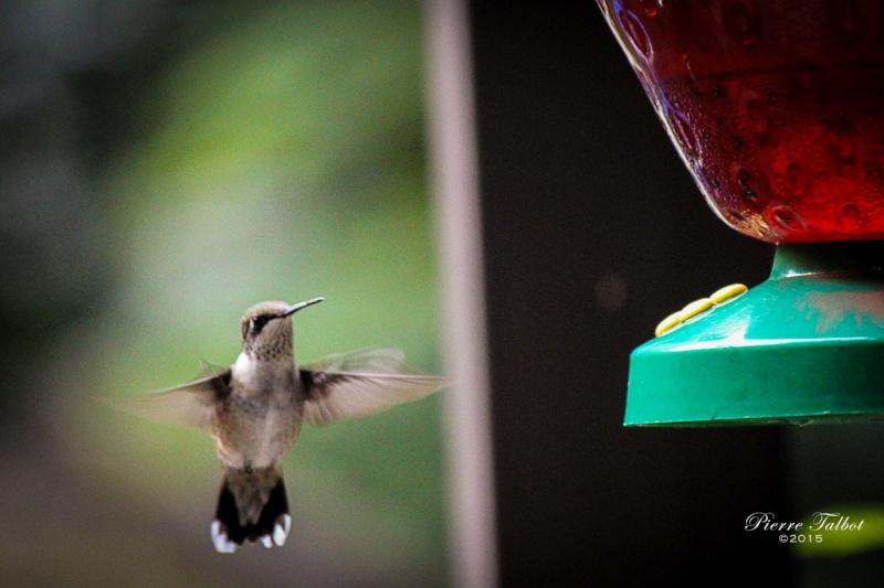 Colibris Oiseau22