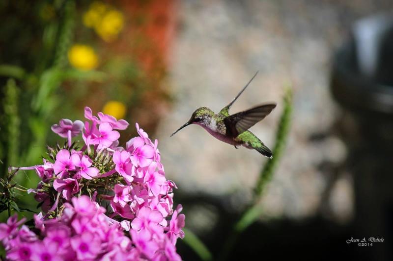 Femelle Colibri à george rubis Pierre13