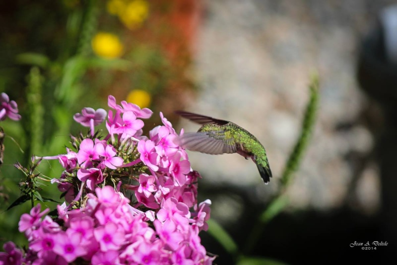 Femelle Colibri à george rubis Pierre14