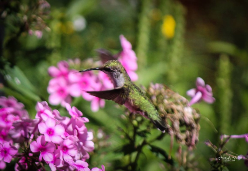 Femelle Colibri à george rubis Pierre15