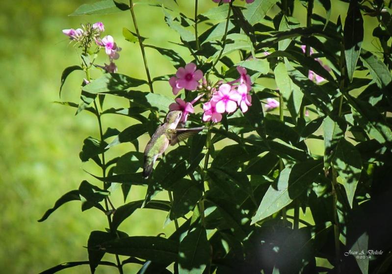 Femelle Colibri à george rubis Pierre21