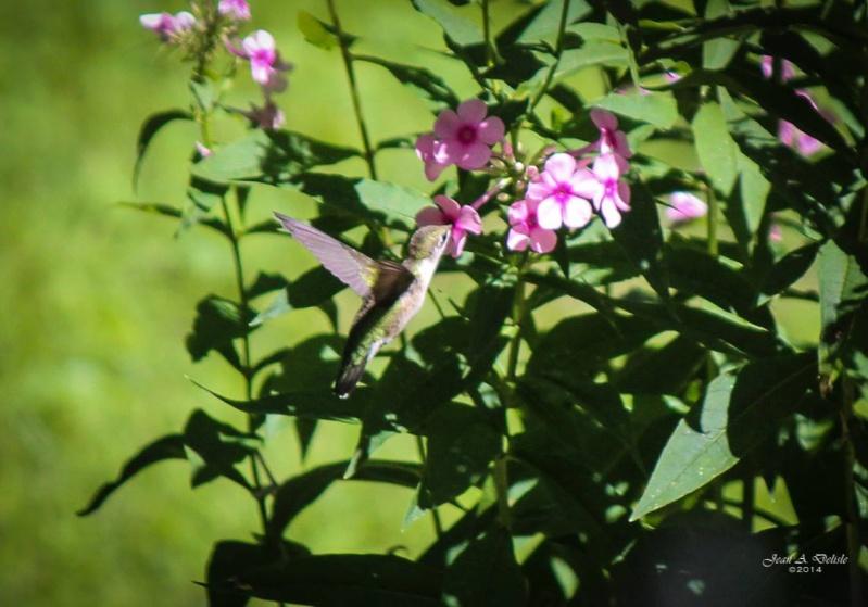 Femelle Colibri à george rubis Pierre22