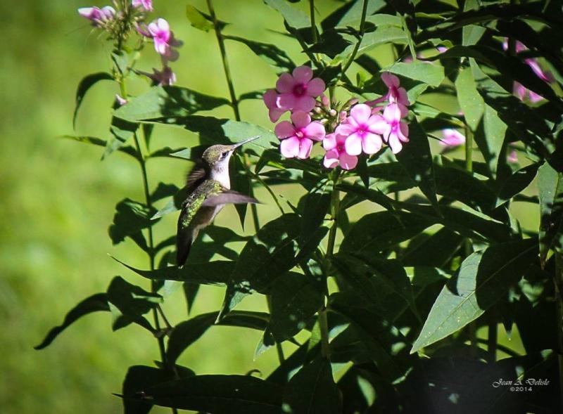 Femelle Colibri à george rubis Pierre23