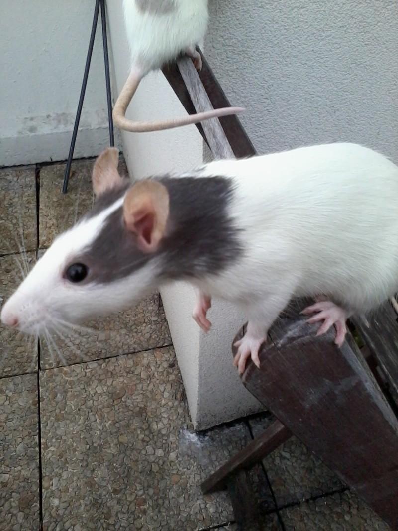 Recherche copine ratte sur Angers (49)  2014-010