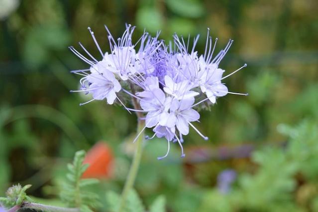 """Mes petites plantes """"de rien"""" pour attirer les pollinisateurs dans ma résidence Petite10"""