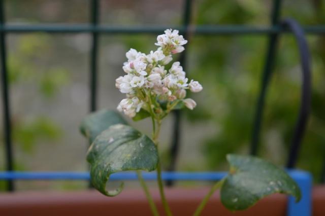 """Mes petites plantes """"de rien"""" pour attirer les pollinisateurs dans ma résidence Petite13"""