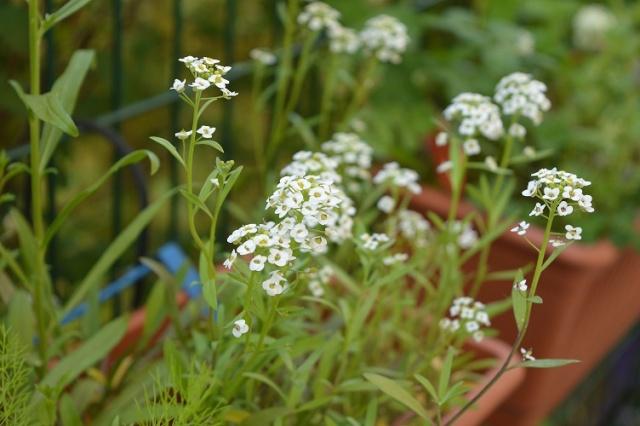 """Mes petites plantes """"de rien"""" pour attirer les pollinisateurs dans ma résidence Petite14"""