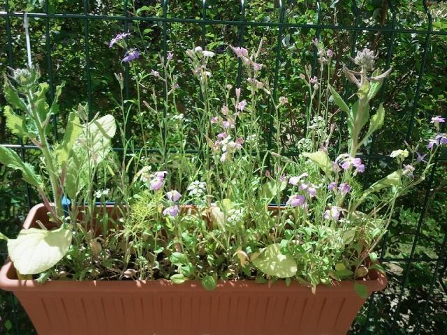 """Mes petites plantes """"de rien"""" pour attirer les pollinisateurs dans ma résidence Petite16"""