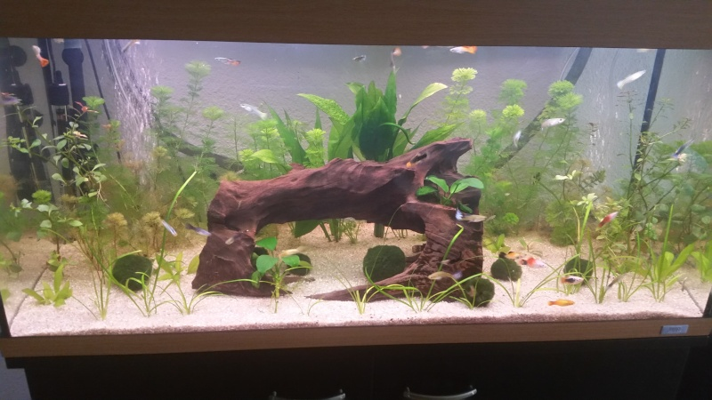 Corydoras et plantes 20150612
