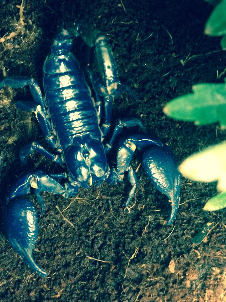 Sick Asian Forest Scorpion 11414510
