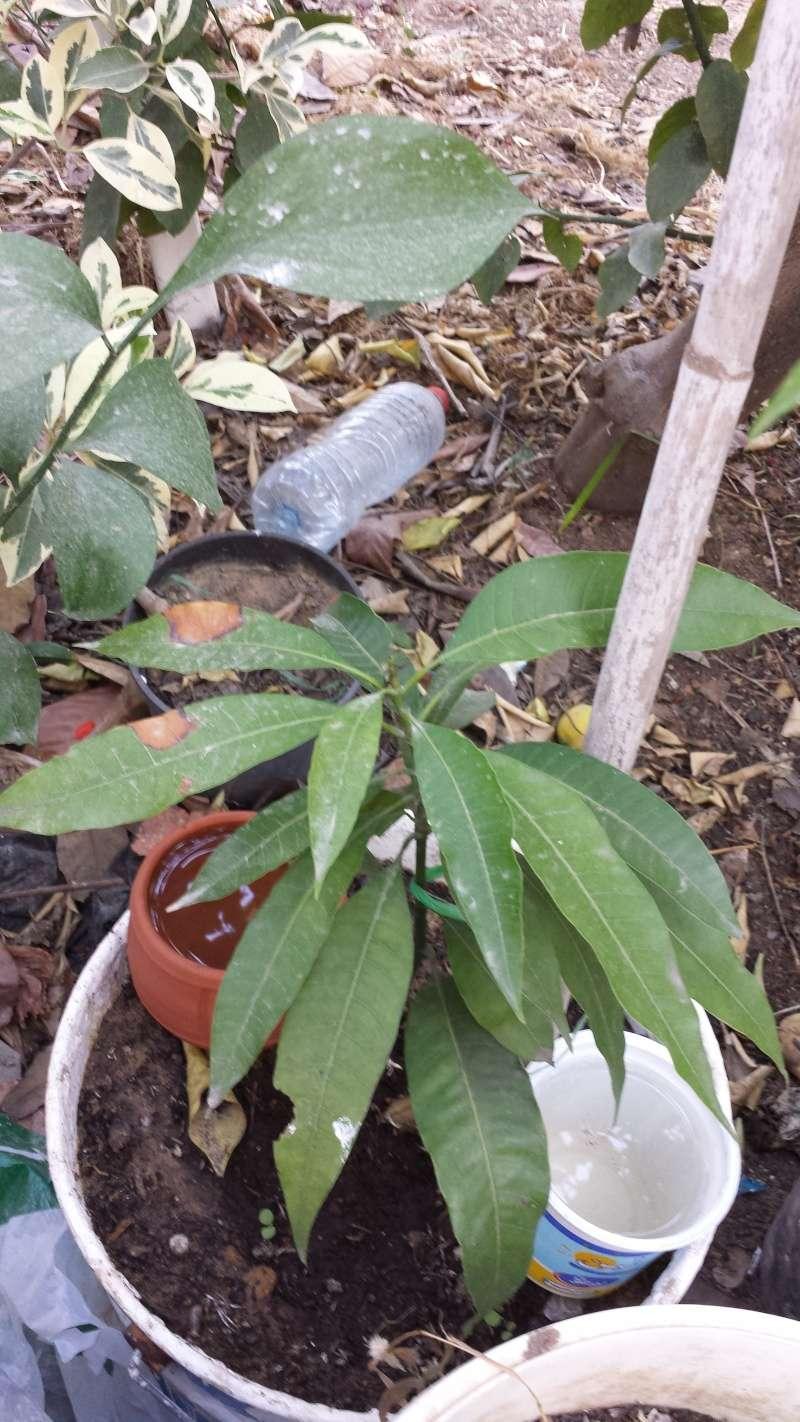 Plantation de manguier? feuilles fanée ? 20150613