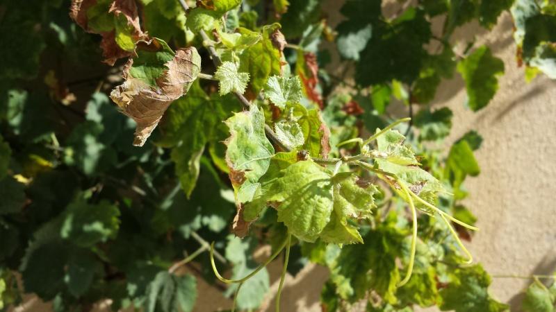 problème avec mes feuilles vigne de raisin de table 20150711