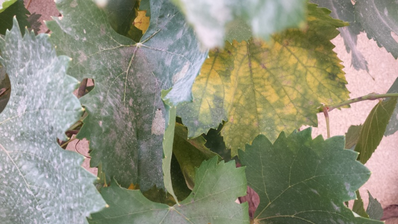 problème avec mes feuilles vigne de raisin de table 20150713