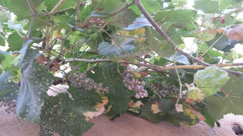 problème avec mes feuilles vigne de raisin de table 20150714