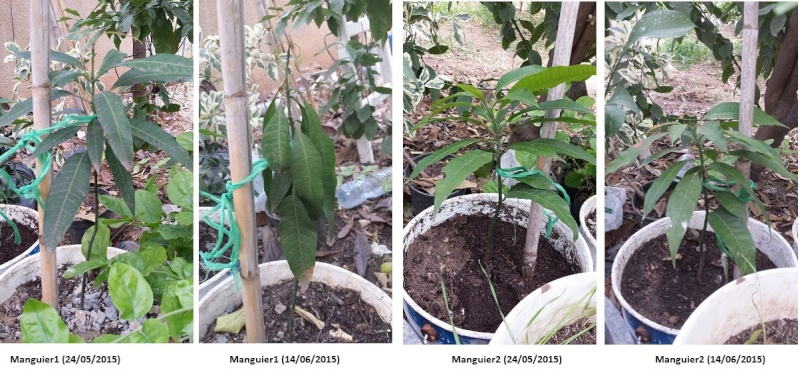 Plantation de manguier? feuilles fanée ? Mangui10