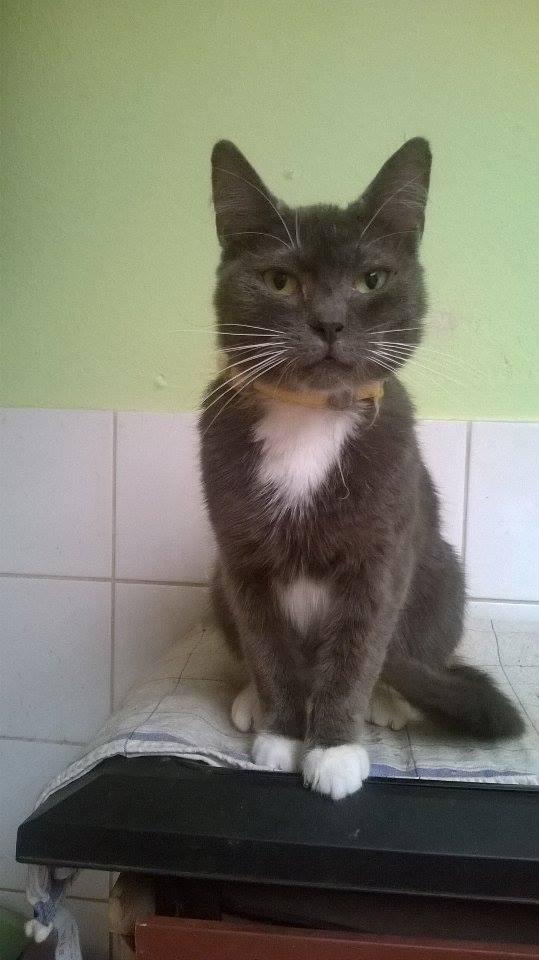 KAIRA, très belle chatte de 2 ans typée chartreuse et blanche 11653210