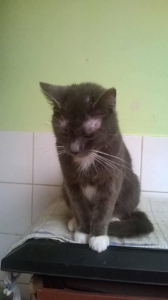 KAIRA, très belle chatte de 2 ans typée chartreuse et blanche 11657310