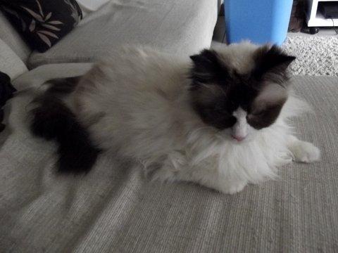 AURELIA, très belle Ragdoll de 13 ans Avril-11