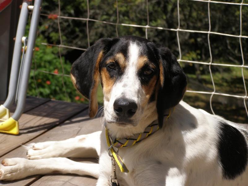 PLUME, jeune chienne 4 ans  x courant/ - asso Liberté sans frontière à Moissieu (38) P7270111