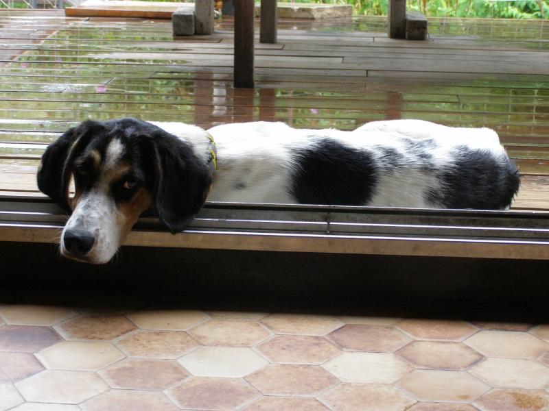 PLUME, jeune chienne 4 ans  x courant/ - asso Liberté sans frontière à Moissieu (38) P7290110