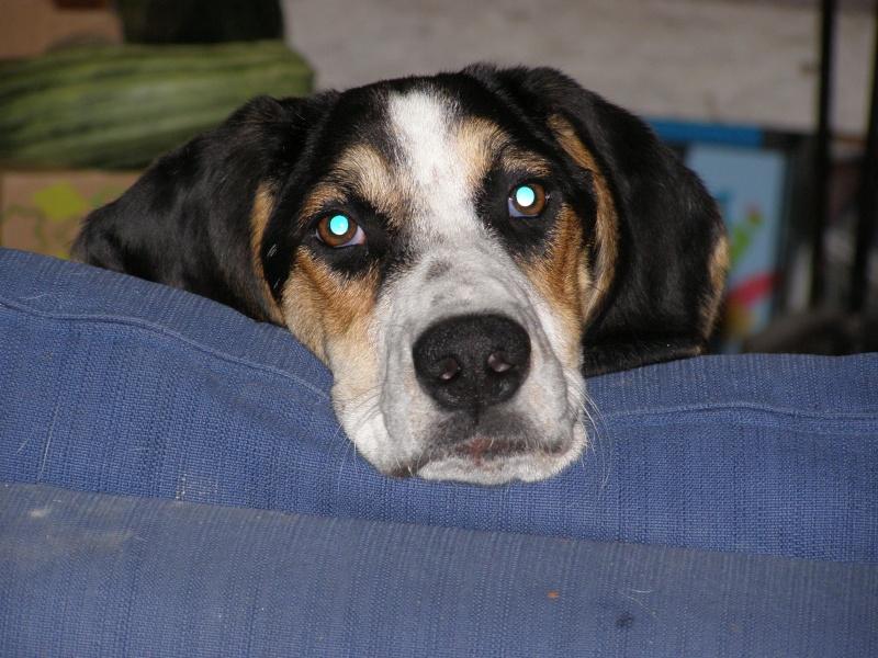 PLUME, jeune chienne 4 ans  x courant/ - asso Liberté sans frontière à Moissieu (38) P7300110