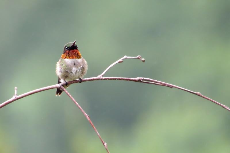 Colibri sous la pluie... Colibr10