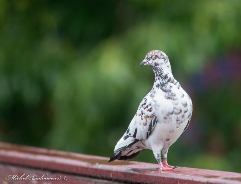 juste un pigeon... Pigeon10
